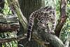 Nebelparder (Anja Anlauf) Tags: säugetier tier natur nebelparder duisburg zoo neofelis nebulosa gefährdet asien katze