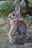 Rabbit (SilverLen) Tags: rabbit animal spring mammal canada winnipeg manitoba nikon dslr 70300 zoom grass yard bunny