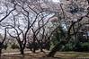 Sakura, everything is blooming (stove007) Tags: shibuja blossom wedding shinjuku ueno modern sakura sake backpacker cherry tradtion crossing train tokyo trip park jrline ramen japan blooming bunkyōku tōkyōto jp
