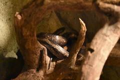 Black Rat Snake (Adventurer Dustin Holmes) Tags: 2018 wondersofwildlife snake reptile animalia chordata blacksnake blackratsnake animal animals ratsnake pantherophisobsoletus reptilia squamata colubridae