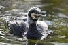 Cormorant on the water (Tambako the Jaguar) Tags: cormorant bird swimming wate surface portrait sunny cold winter basel zoo zolli switzerland nikon d5