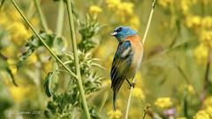 Lazuli Bunting (Bob Gunderson) Tags: alamedacounty birds buntings california eastbay garinregionalpark lazulibunting northerncalifornia passerinaamoena