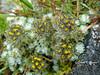Hippolytia gossypina (Hook. f. & Thoms. ex C.B. Clarke) C. Shih (Asteraceae) (Himalayan Biodiversity and Landscape) Tags: tanacetumgossypinum tanacetum hippolytiagossypina hippolytia asteraceae himalaya himalayanflora himalayanflowers floraofeasthimalaya nepal taplejung floraofnepal