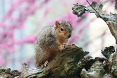 Squirrels (including Juveniles) in Ann Arbor at the University of Michigan (March 28th, 2018) (cseeman) Tags: gobluesquirrels squirrels annarbor michigan animal campus universityofmichigan umsquirrels05142018 spring eating peanut mayumsquirrel overcast art publicart angryneptunesalaciaandstrider statue bronze micheleokadoner micheleokadonerstatue squirrelsandart squirrelsandpublicart livingart squirreljuveniles squirrelnests foxsquirrels easternfoxsquirrels michiganfoxsquirrels universityofmichiganfoxsquirrels