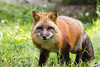 Prowling Red Fox (PJEnsell) Tags: redfox wild animal wildlife nature woods forest red natural vibrant fur coat