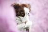 pink spring with Mila (mona_hoehler) Tags: dog pet animal border collie girl beauty love trick spring pink flowers cherry blossom sweet cute model shooting nikon tamron solingen dusseldorf köln