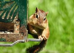 Chipmunk at Bird Feeder (Anne Ahearne) Tags: wild animal nature wildlife chipmunk bird feeder cute funny feeding eating