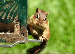 Chipmunk at Bird Feeder