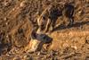 2015 04 07 crocuta crocuta@letaba-3883 (- Stefano Benedetto -) Tags: crocutacrocuta hyena safari kruger southafrica olifantsriver