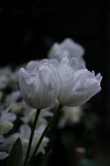 Tulips (haberlea) Tags: garden tulips tuliphakuun flowers white mygarden nature