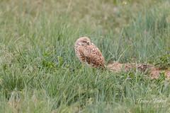 Sleeping male Burrowing Owl