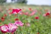 Poppy_13 (kaz_Pinguist) Tags: pentax k1 20180520 saitama frower 100mmf28macro poppy