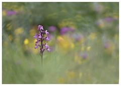 Si belle- So pretty (isabelle.bienfait) Tags: orchis anacamptismorio orchidée composition nature flower couleurs colors proxi isabellebienfait orchisbouffon nikond7200 sigma105