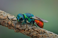 Cuckoo wasp (epioxi) Tags: epioxi chrysisignita chrysissp goldwespe cuckoowasp wasp componon reversed schneiderkreuznach focusstacking zerenestacker zerene chrysisfulgida
