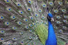Blue Screamer (soulman_id) Tags: blue peacock animal zoo pentax k5 jupiter 13535 bird