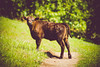 calf on path [Day 3394] (brianjmatis) Tags: path hike photoaday calf cattle nature animal hill cow project365 sanluisobispo california unitedstates us