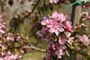 Cherry blossom Simcoe (dyvroeth) Tags: cherry blossom simcoe hanami faversham kent unitedkingdom gbr