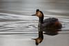 Eared Grebe-48153.jpg (Mully410 * Images) Tags: earedgrebe avian birding coonrapidsdam bird birds grebe birdwatching birder mississippinationalriverrecreationarea nationalpark