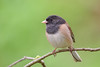 Dark-eyed Junco (Oregon) (Becky Matsubara) Tags: avian bird birds california contracostacounty deju darkeyedjunco elcerrito elcerritohillsidenaturalarea junco juncoardoisé juncohyemalis nature outdoors wildlife
