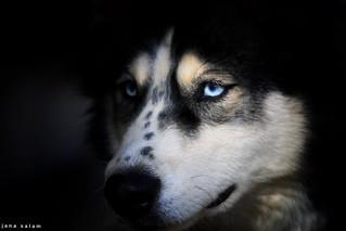Leveny #husky #doglovers #huskylovers #photoshoot #photography #pic #photo #photographyoftheday #photo_art #photooftheday #flickr #portrait #capture #blue #black #explore