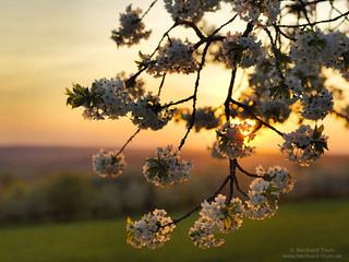 Sunset light and cherry blossom at Walberla