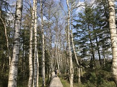 black and white forest (m_big_b) Tags: nationalpark blackforest kaltenbronn mountaintop birchtrees moor germany hiking europe