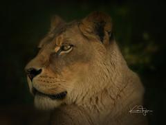 Josie (yadrad) Tags: bigcats cats zoo dartmoorzoo dartmoorzoologicalpark carnivore animal africanlion lion ngc