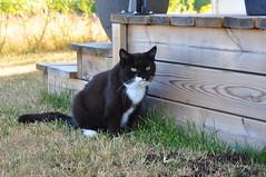 Our little kitty Tussi (vanstaffs) Tags: tussi tuzz tuxedocat t tux tusse tutu tuzz® myprettyliltuxedogirl