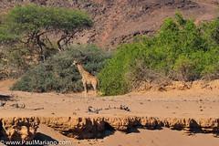 DSC_8792-2 (paul mariano) Tags: paulmarianocom paul mariano allrightsreserved namibia wildlife photography animals africa