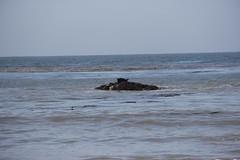 Pacific Harbor seal - Phoca vitulina ssp. richardsi (Björn S...) Tags: seehund phocavitulinarichardsi phocavitulinassprichardsi phocavitulina harborseal harbourseal commonseal pacificharborseal phoquecommun veaumarin focacomún focadepuerto focamoteada