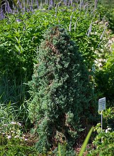Juniperus horizontalis 'Wiltonii' (Cupressaceae)