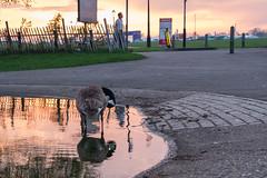 Marathon preparations on Blackheath (Spannarama) Tags: sunset evening dusk clouds heath blackheath london uk goose pond water reflections man walking sign princeofwalespond
