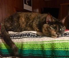 Hazel (saiberiac) Tags: cat tortie tortoiseshell pet companion cute feline portrait animal adoptdontshop indoor blanket hazel