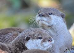 Otters (gillybooze) Tags: ©allrightsreserved animal otter mammal wildlife bokeh outside dof fur pair wild