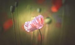 Wildflower (Dhina A) Tags: sony a7rii ilce7rm2 a7r2 a7r steinheil munchen culminar 85mm f28 m42 culminar85mmf28 bokeh wildflower wild flower