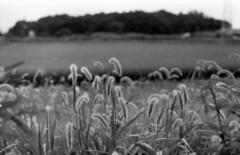 Bristlegrass (odeleapple) Tags: nikon f2 carl zeiss planar 50mm yellowfilter neopan100acros film monochrome analog bw bristlegrass weeds paddy rice field