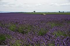 Juste Avant La Cueillette... (SabineLacombe) Tags: valensole lavande plateaudevalensole bleu provence paca parfum alpesdehauteprovence