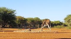 Anya Britvan_CCF_Giraffe (ie3global) Tags: africa namibia cheetahconservationfund anyabritvan fall 2017 fall2017 osu