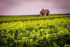 A dilapidated hut among the champagne vines (Winniepix) Tags: winniepix champagne vine wine grape travel drink france epernay reims champenois cave crayere vintage tour cellar bottle produce