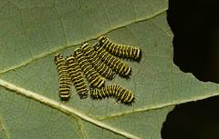 Beautiful Babies!!!! Callosamia angulifera (Bonnie Ott) Tags: caterpillar instar callosamiaangulifera