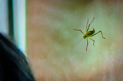 Live Cricket On TV (Stephen Reed) Tags: tv insect cricket nikon d7000 lightroomcc colorefexpro4 summer england closeup