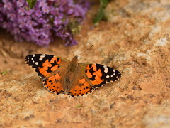 PAINTED LADY (Sanglier58) Tags: painted lady vanessa cardui wirksworth stone centre