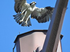 Osprey (Boulder Flying Circus Birders) Tags: osprey pandionhaliaetus ospreycolorado ospreyboulder wildbirdboulder wildbirdcolorado boulderflyingcircusbirders freebirdwalk saturdaymorningbirders bouldercreekat75thst heatherwoodtrail bouldercountyopenspace gunbarrel colorado janebaryames