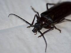 Big Eyes (harefoot1066) Tags: coleoptera polyphaga chrysomeloidea cerambycidae prioninae prionini derobrachus derobrachushovorei paloverderootborer