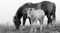 With mummy (patrick_milan) Tags: horse cheval poulain foal breton brode mare mummy