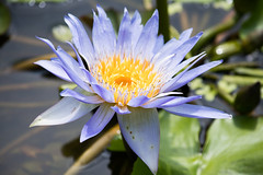 Tropical Purple Water Lily (Merrillie) Tags: pond vietnam plant water garden flora purple waterlily flower lotus outdoors beauty bloom yellow nature spiritual