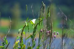 Slow Trail-Tiebelweg 2018_Karin Wernig_0070 (Foto-Karin.at) Tags: slow trail ossiachersee naturschutz fische wasservögel biotop wasser blumen flower