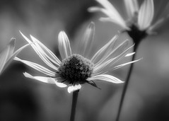 white sunlight (courtney065) Tags: nikond200 nature landscapes flowers flora blooms blossoms garden meadow summer textures shadows bokeh monochrome blackandwhite bw artistic abstract rudbeckia summerflowers white foliage petals whitepetals