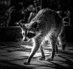 The Bandit (_Lionel_08) Tags: raccoon wild swamp wildlife black white nature louisiana animal grey sunlight