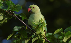 A Rose Ringed Parakeet in a tree / une perruche a collier dans un arbre (Franck Zumella) Tags: perruche perroquet collier vert rouge parakeet rose ringed 앵무새 bird oiseau wildlife nature green yellow jaune animal red
